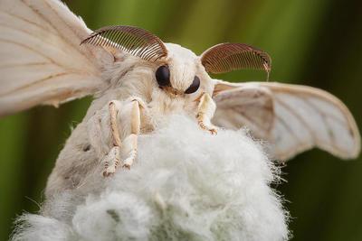Seidenfalter Bombyx Mori